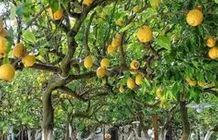The restaurant is located under a laden lemon tree