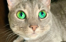 """The cat with beautiful blue eyes """"mesmerizes"""" anyone looking at"""