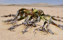 The welwitschia, one of the strangest trees on the planet