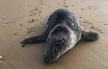 A baby seal washed up on a beach in Lacanau rescued