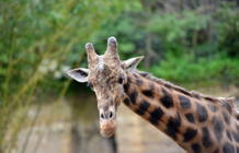 Two dwarf giraffes discovered for the first time in Africa