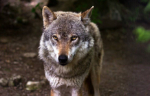 Wolf population sees its dynamics slowing down, study finds