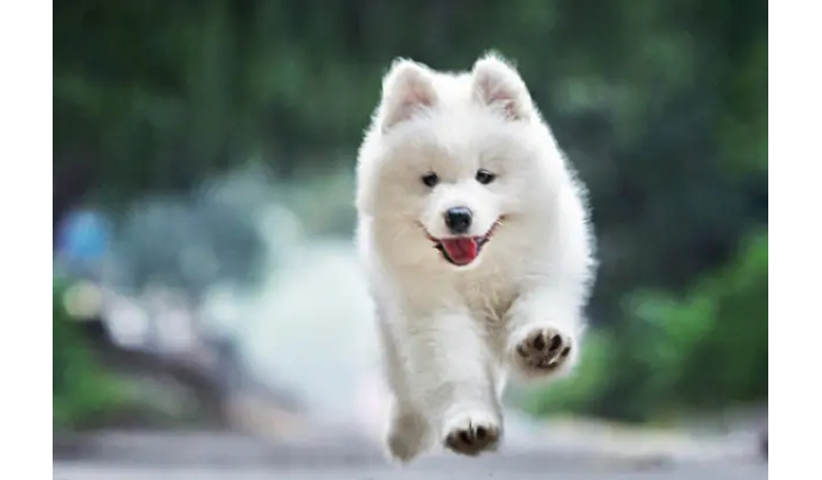 The top ten most beautiful dogs in the world are ranked No.1, smiling angel Samoyed
