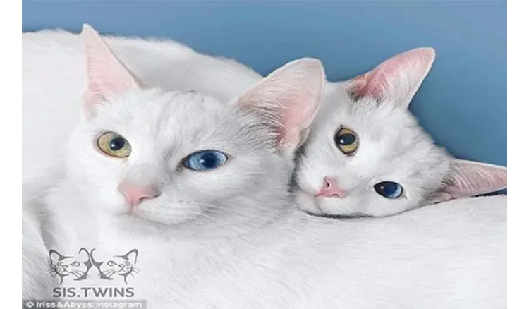 Gaze at the boredom of twin cats with two beautiful eye colors