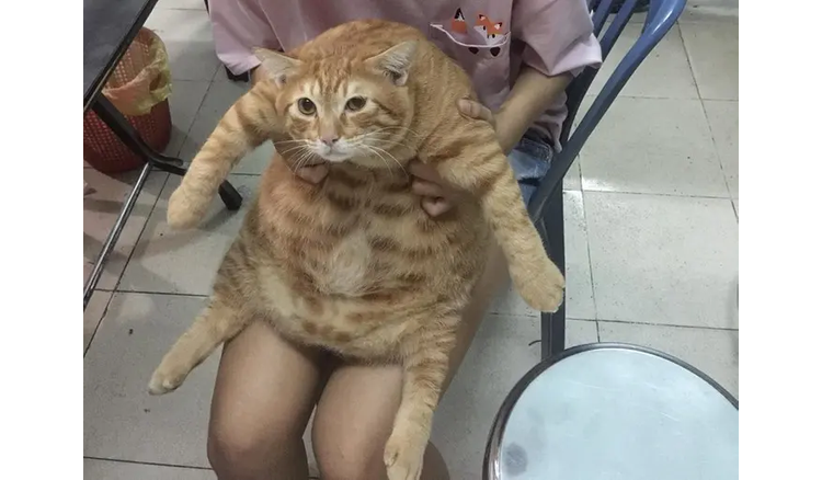 """Stunned with the cat carrying """"8kg"""" of fat in the body, but always feeding"""