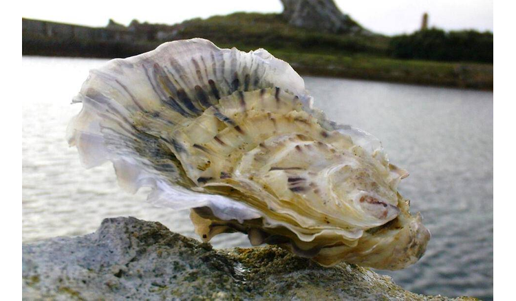 Why are oysters sick more and more often?