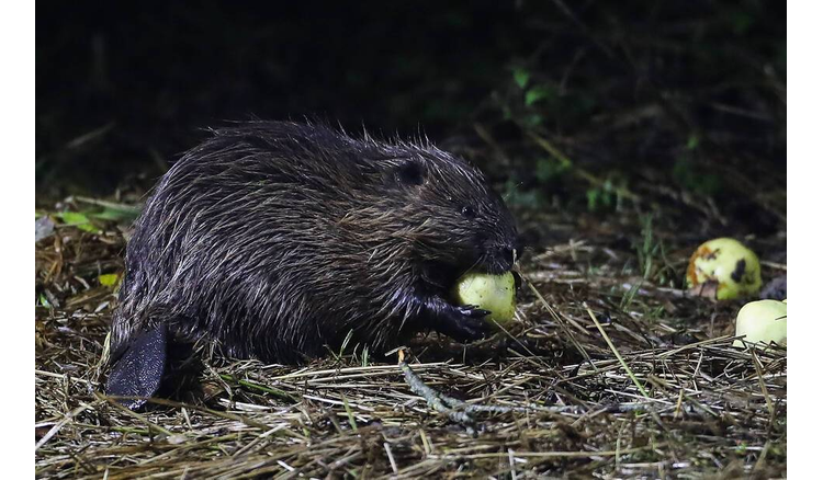 After coming close to extinction, the beaver is repopulating French rivers