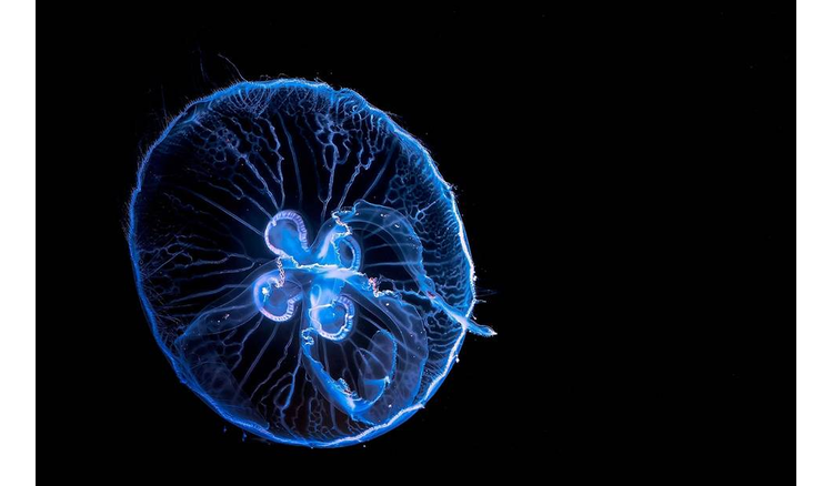 Researchers to use jellyfish robot to save corals
