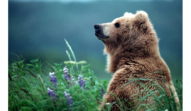 Europe asks France to replace bears killed in the Pyrenees